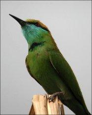 36-95-3641 Green Bee-eater (Merops orientalis) ©Ian2