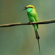 36-95-3641 Green Bee-eater (Merops orientalis) ©none