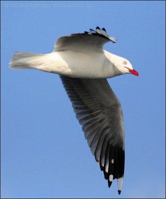 Silver Gull (Chroicocephalus novaehollandiae) by Ian