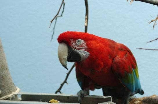 Red-and-green Macaw (Ara chloropterus) at NA by Dan