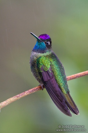 Magnificent Hummingbird (Eugenes fulgens) by Judd Patterson
