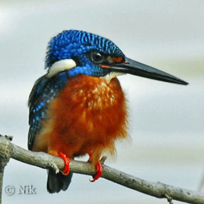 Blue-eared Kingfisher (Alcedo meninting) by Nikhil Devasar