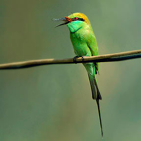 Green Bee-eater (Merops orientalis) ©none