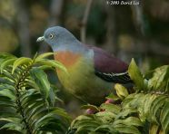 9a_little_green_pigeon_dl
