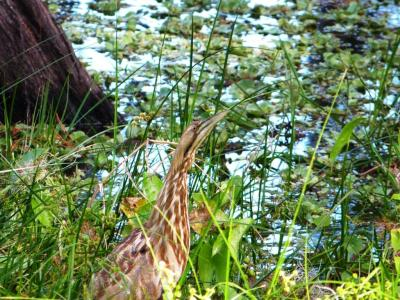 American Bittern (Botaurus lentiginosus) at Circle B by Lee
