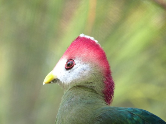 Red-crested Turaco (Tauraco erythrolophus) Brevard Zoo by Lee