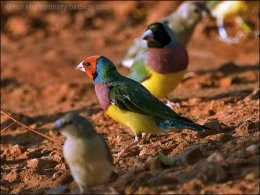 Colorful Gouldian Finches From Australia