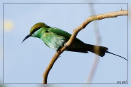 green 00001_green bee eater