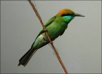Green Bee-eater (Merops orientalis) by Ian