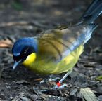 Blue-crowned Laughingthrush (Garrulax courtoisi) ©WikiC