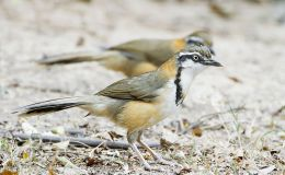 Greater and Lesser Necklaced Laughingthrush