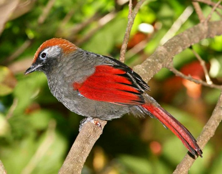Red-tailed Laughingthrush (Trochalopteron milnei) ©WikiC