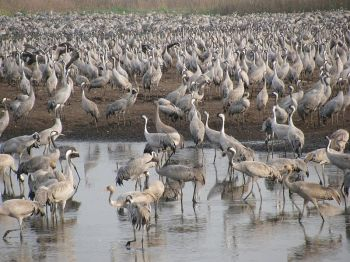 Common Cranes in Israel. Many species of crane gather in large groups during migration and on their wintering grounds ©WikiC