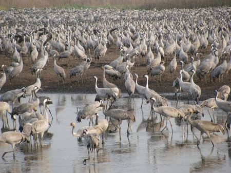 Common Cranes in Israel. Many species of crane gather in large groups during migration and on their wintering grounds