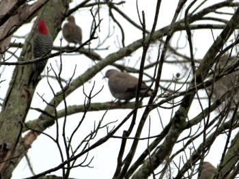 Eurasian Collared Dove (Streptopelia decaocto) Red-bellied Woodpecker (Melanerpes carolinus) 3rd and 4th Birds of 2014 by Lee