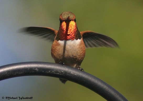 Rufous Hummingbird (Selasphorus rufus) by Michael Woodruff