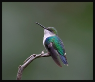 Violet-crowned Woodnymph (Thalurania colombica) by RScanlon