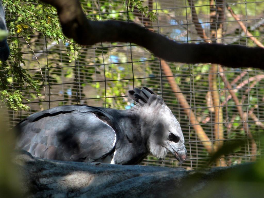 Harpy Eagle (Harpia harpyja) Juvenile by Lee at Zoo Miami 2014