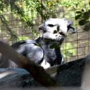 Harpy Eagle (Harpia harpyja) Juvenile by Lee at Zoo Miami 2014