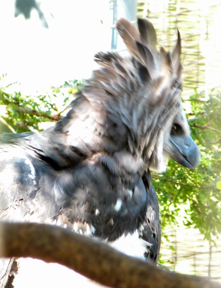 Harpy Eagle (Harpia harpyja) by Lee at Zoo Miami