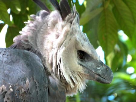 Harpy Eagle (Harpia harpyja) by Lee at Zoo Miami 2014