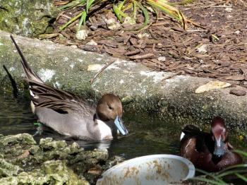 Ferruginous Duck (Aythya nyroca) and Pintail by Lee at ZM 2014
