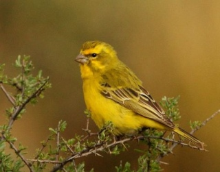 Yellow Canary (Crithagra flaviventris) Male ©WikiC