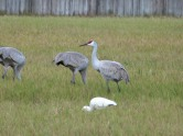 Sandhill Cranes with White Ibis by Lee