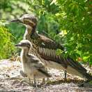 Bush Stone-curlew (Burhinus grallarius) with young by Ian at Birdway