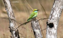 AJMithra's Photo of Green Bee-eater (Merops orientalis)