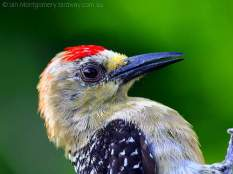 Red-crowned Woodpecker (Melanerpes rubricapillus) by Ian