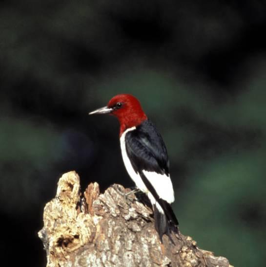 Red-headed Woodpecker (Melanerpes erythrocephalus) ©USFWS