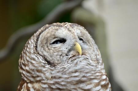 Northern Barred Owl (Strix varia) LPZ by Dan 2014
