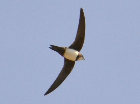 Alpine Swift (Tachymarptis melba) ©WikiC