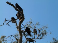 Black Vulture Tree by Lee Myakka SP2