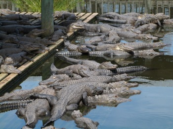 Gators at Gatorland