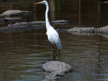 Gators at Gatorland - Great Egrets catching a ride by Lee
