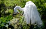 Great Egret at Gatorland by Dan