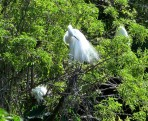 Great Egret at Gatorland by Lee
