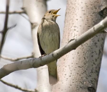 Thrush Nightingale (Luscinia luscinia) ©©SergeyYeliseev