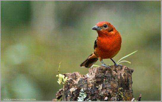Flame-colored Tanager (Piranga bidentata) (2) by Raymond Barlow
