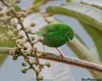 Glistening-green Tanager (Chlorochrysa phoenicotis) Female ©BirdPhotos.com