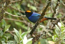 Golden-crowned Tanager (Iridosornis rufivertex) by Michael Woodruff