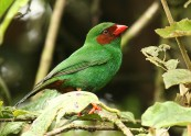 Grass-green Tanager (Chlorornis riefferii) by Michael Woodruff