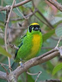 Green-and-gold Tanager (Tangara schrankii) ©BirdPhotos.com