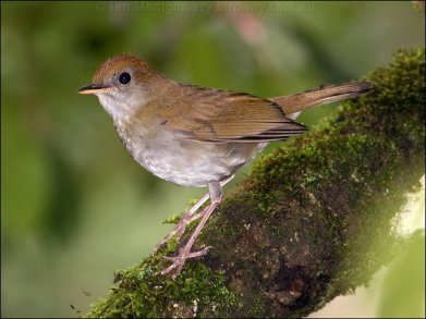 Ruddy-capped Nightingale-Thrush (Catharus frantzii) by Ian