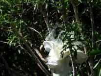 Snowy Egret at Gatorland by Lee 26