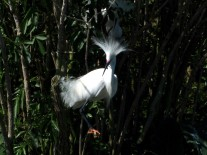 Snowy Egret at Gatorland by Lee