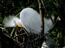 Snowy Egret at Gatorland by Lee 33 fluffing head