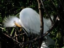 Snowy Egret at Gatorland by Lee 33 fluffing head